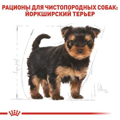 RC-BHN-PuppyYorkshire_5-RU.jpg