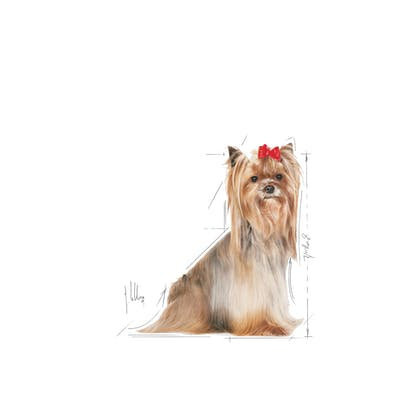 YORKSHIRE TERRIER 8+-EMBLEMATIC-FACING-BHN20