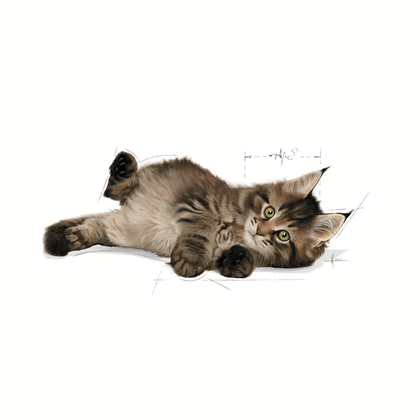 FBN2016_KITTEN MAINE COON_BOTTOM