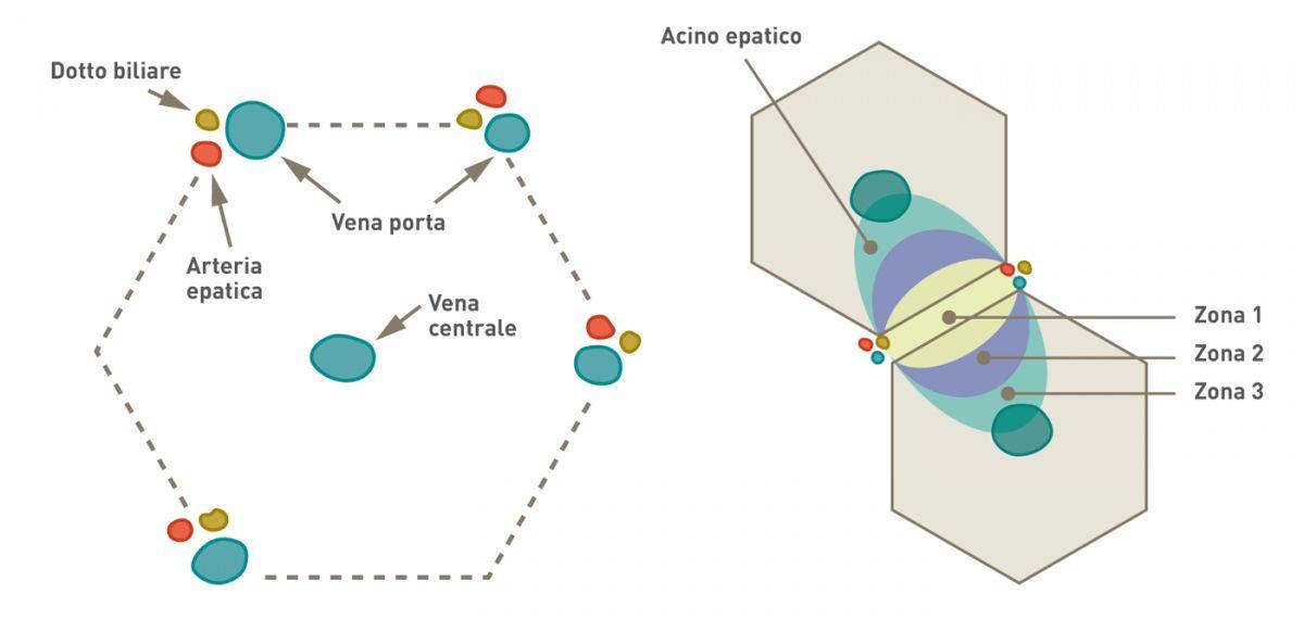 """Suddivisione istologica del fegato. Il fegato è suddiviso istologicamente in lobuli esagonali. Al centro di ogni lobulo si trova la vena centrale, con le triadi portali (costituite da un'arteria epatica, una vena porta e un dotto biliare) alla periferia. Il lobulo epatico può essere descritto come una """"zona"""" metabolica, con ogni area centrata su una linea che collega due triadi portali e si estende verso l'esterno alle due vene centrali adiacenti. La zona 1 periportale è la più vicina all'apporto vascolare in entrata e riceve il sangue più ossigenato, mentre la zona 3 centrolobulare ha una ridotta ossigenazione ; la zona 2 si trova tra la zona 1 e la zona 3."""