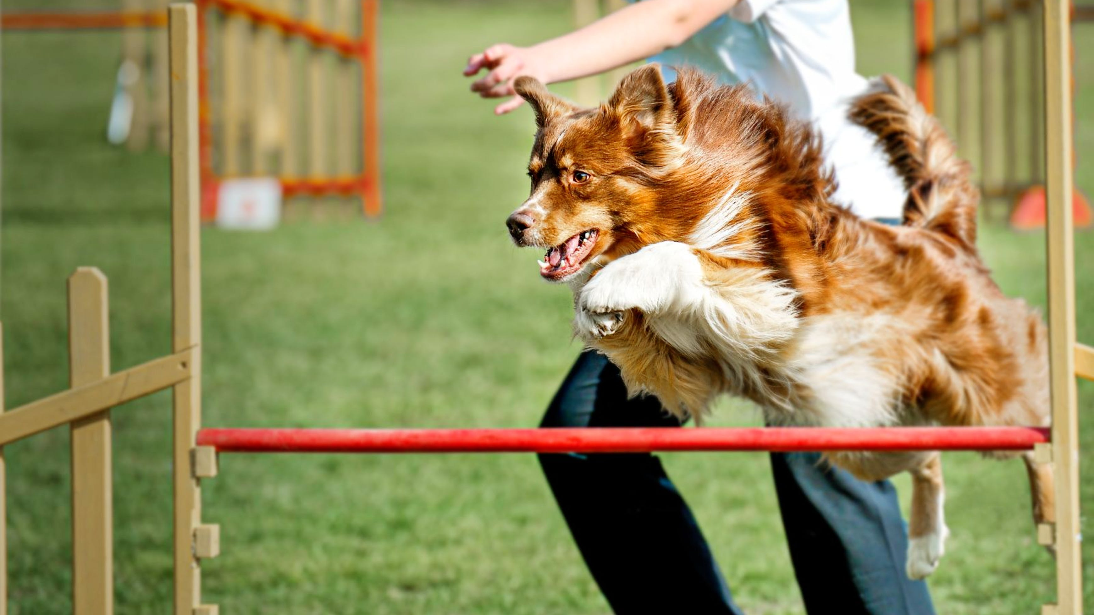 Brown Australian Shepherd jumping over a hurdle