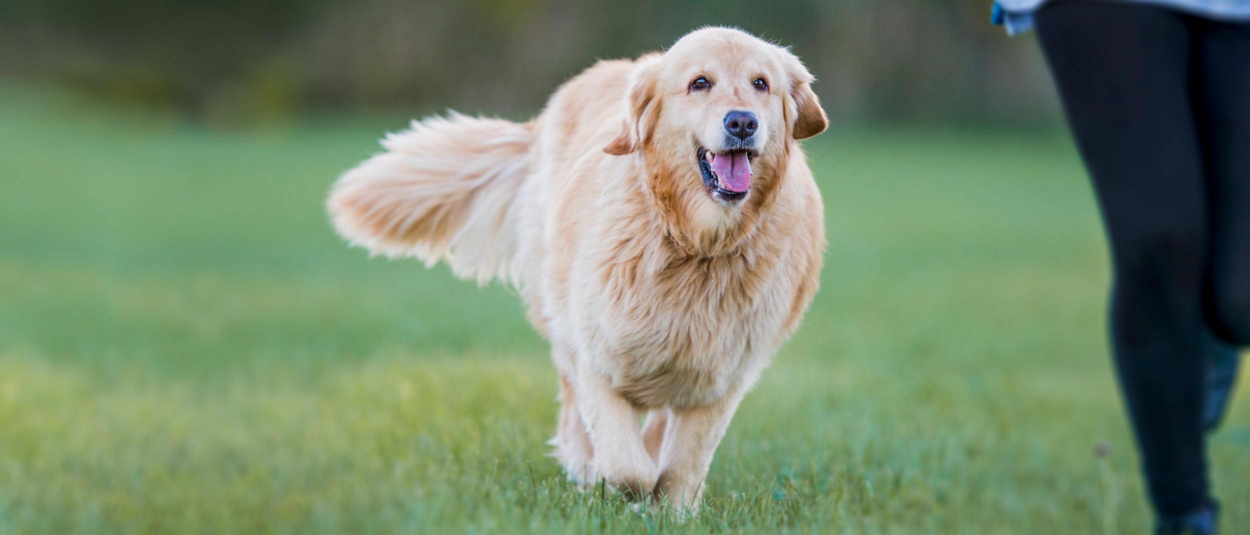 meilleur aliment pour chiens de perte de poids pour beagles
