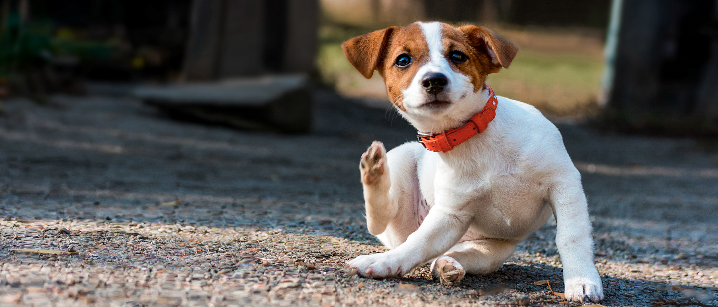 sarpullido en perros pitbull