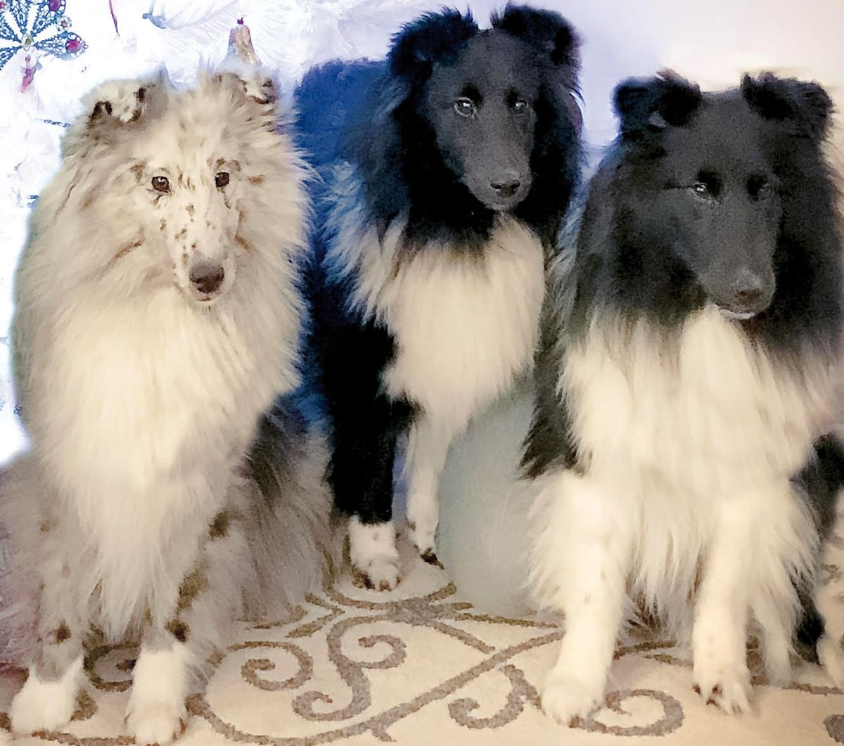 The Shetland Sheepdog on the left displays the merle coloration, which is found most frequently in herding breeds. However, unfortunately for those who may wish to introduce the color into their lines, many of the herding breeds can also carry the MDR1 (multi-drug resistance 1) mutation.