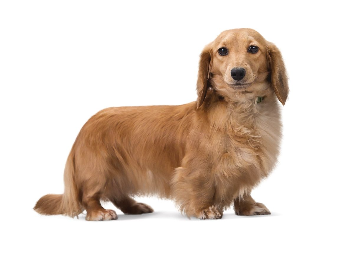 The Dachshund is just one of many breeds that carries the gene for shortened limbs, known as chondrodysplasia. Unlike breeds where it has been more recently introduced, the Dachshund is fixed for this trait .