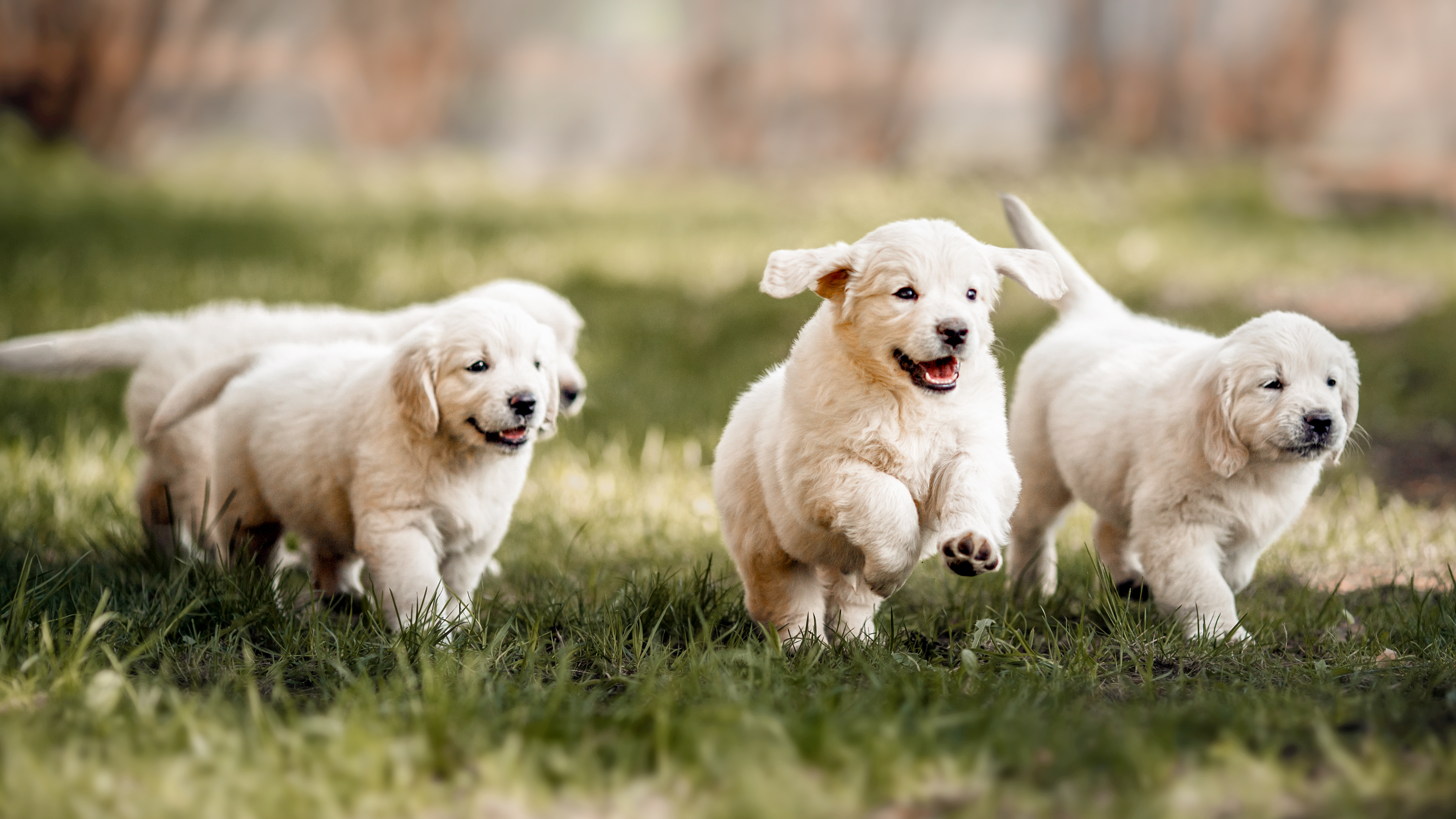 Golden Retriever puppies running outdoors in a garden